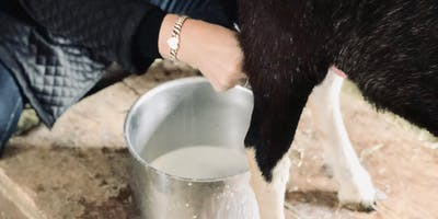Learning to Goat 101: MILKING