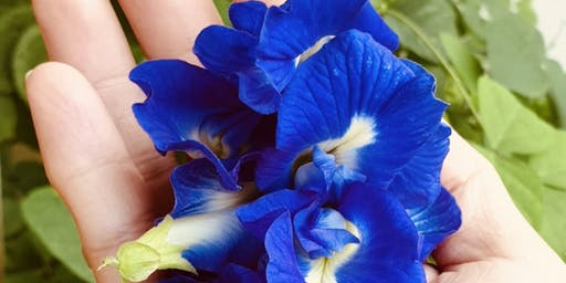 Discovery Workshop : Butterfly Pea Flower