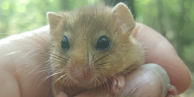 Dormice - Ecology, Survey, and Habitat Management