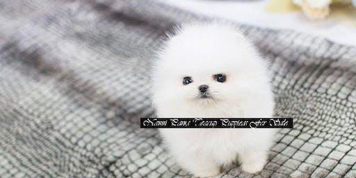 Meet Bean Micro Pomeranian Male For Sale.