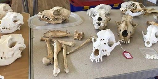 Skull and bone identification of British Mammals