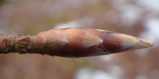 Winter Tree Identification 2020