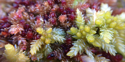 Sphagnum Mosses: Field Identification Course 2020