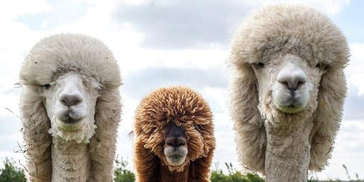 The Alpacas are in town!