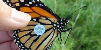 Monarch Tag & Release