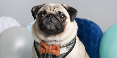 Barry the Puggy's Instagram Blue Tick VIP Pawty