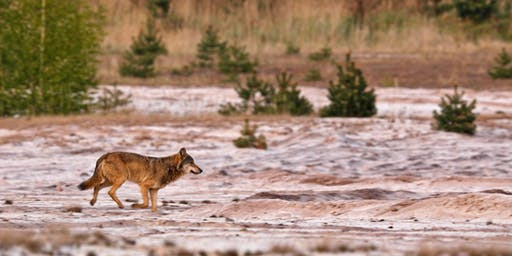 Wölfe in Brandenburg - Die wilden Rückkehrer
