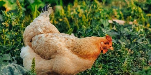 Introduction to Keeping Chickens Course / Cwrs Cyflwyniad i Gadw Ieir Adref
