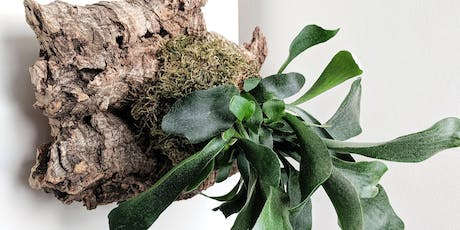 Mounted Staghorn Ferns with Rock Paper Plant tickets