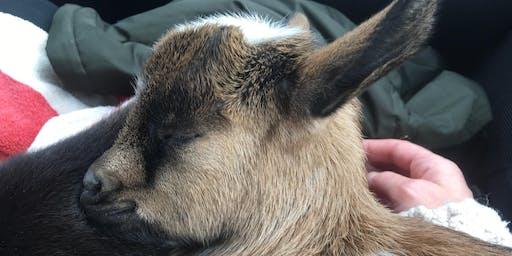 Baby goat yoga, calf cuddling, snuggles, and mimosas!