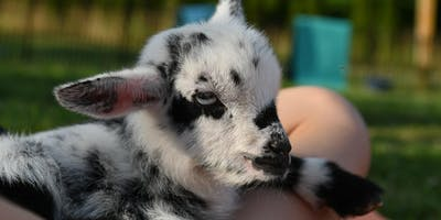Rescued baby goat yoga, calf cuddling, bottle feeding and wine!