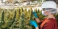 Options for Managing Emissions from Cannabis Production and Processing