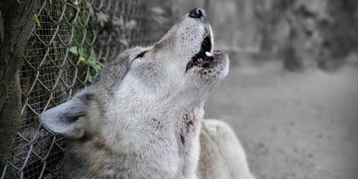 Strengthen the Pack with Shy Wolf Sanctuary