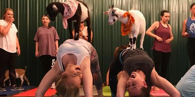 Indoor Goat Yoga by Shenanigoats