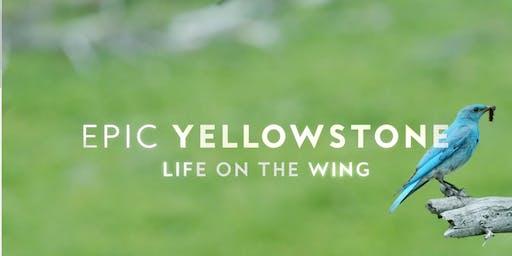 """Entrada al documental """"Yellowstone épico–Vida en las alas"""". Pajareros 2019."""