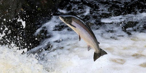 Help Bring Back the Salmon to Limerick