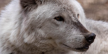 Wolf Encounters, January - May 2020 tickets