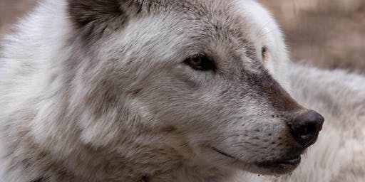 Wolf Encounters, January - May 2020