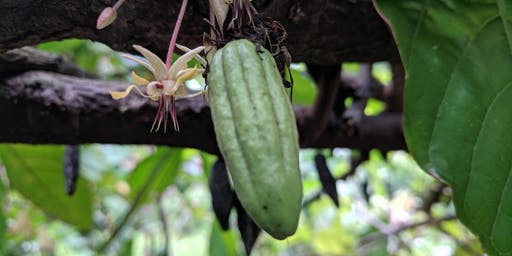 HARC Fine Cacao Field Day