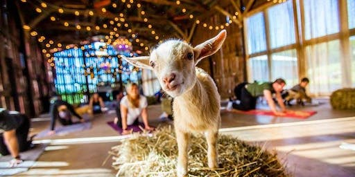 Goat Yoga at the Red Barn-Traders Point Creamery