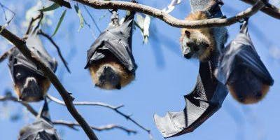Junior Rangers Mega-Bat Chat - Yarra Bend Park