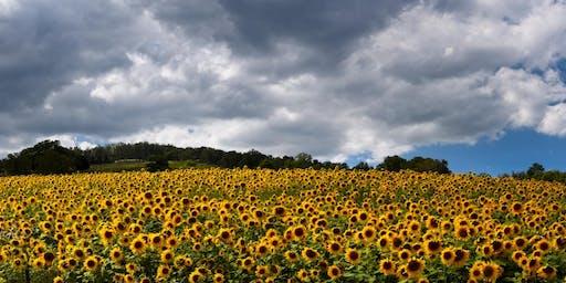 Sunflower Harvest at Dirt Farm