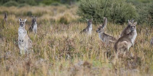 Which Roo are You? - Wilsons Promontory National Park