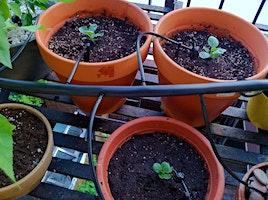 Summer vegie gardening