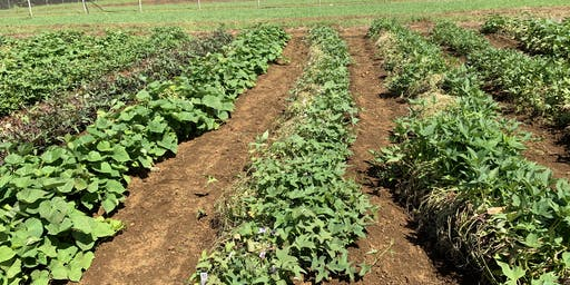 Field day on Sweetpotato Variety Trial