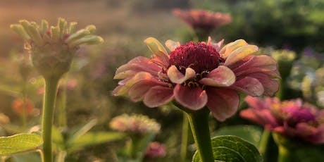 Cut your own Flowers at Sunset - Sunday, Sept. 22nd, 2019, 5:00-7:30 tickets