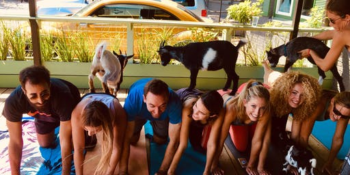 Goat Yoga Houston Nett Bar