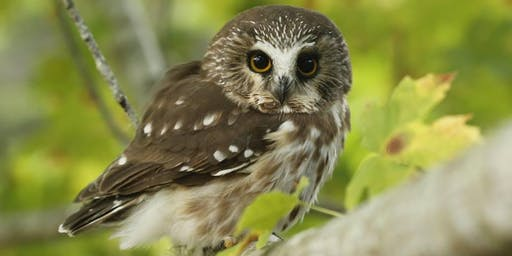 Visit to RPBO's Northern Saw-whet Owl Banding Station