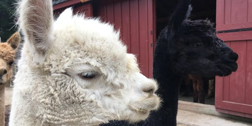 Alpaca Farm Open Event