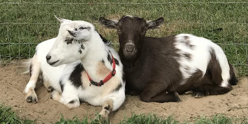 Goat Yoga at Mount Hope Farm Barn Tuesday, October 29 at 5:45 pm