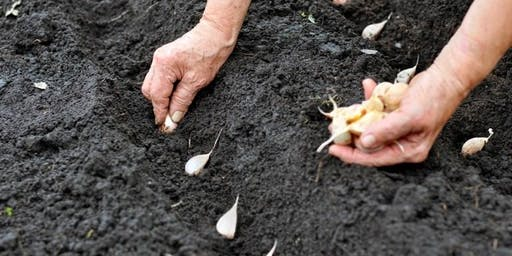 It's Garlic Planting Time. Help! We Have Garlic To Plant!