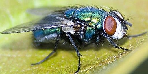 An Introduction to the Identification of Blow flies