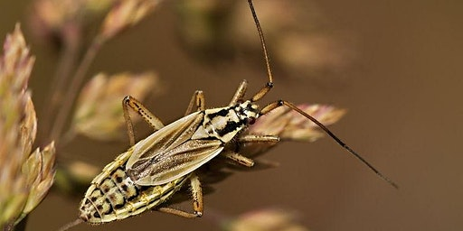 An Introduction to the Identification of Plant bugs