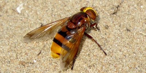 An Introduction to Hoverfly Identification