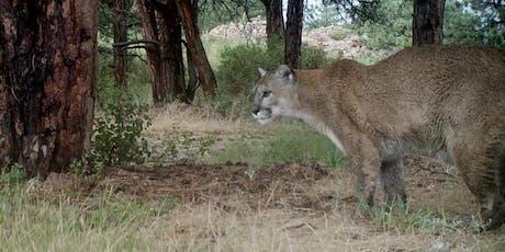 Capturing Wild Mountain Lion Video tickets