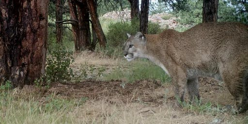 Capturing Wild Mountain Lion Video