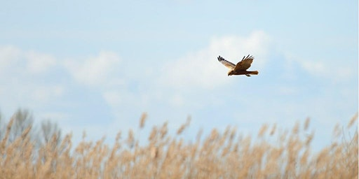 Raptor Roost Watch at RSPB Arne