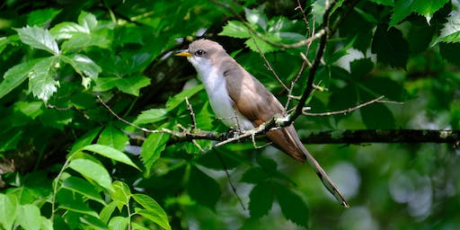 Tracking the Yellow-billed Cuckoo: A Research Update from Laura Marsh