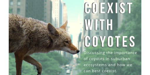 Everything  You Want To Know About Coyotes