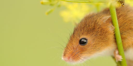 Harvest Mouse Nest Search