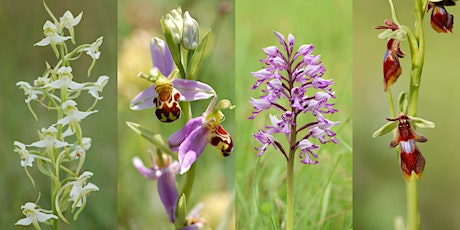 Orchid Hunting in the Chiltern Hills tickets