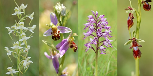 Orchid Hunting in the Chiltern Hills