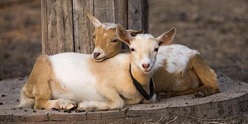 Joy of Baby Goats