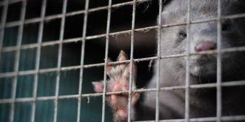 The Welfare of Animals on EU Fur Farms