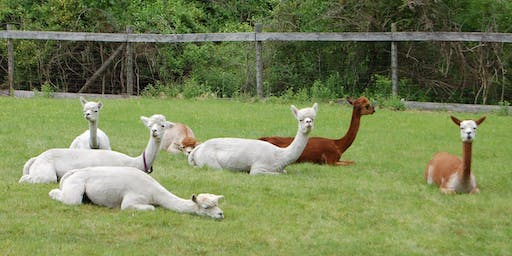 Halloween Yoga with Alpacas at the Harvard Alpaca Ranch - October 26 @9am