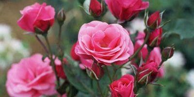 An Introduction to Rose Pruning